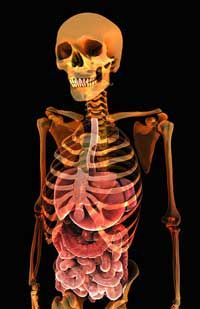 Your stomach and small intestine (seen here through a stylized x-ray image) are the sources of all that growling.