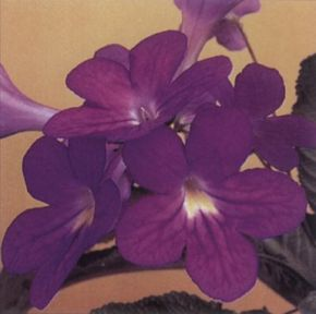Streptocarpus remains in bloom throughout the year, given proper conditions. See more pictures of house plants.