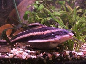 Striped Raphael Catfish -- platydoras costatus See more aquarium fish pictures.