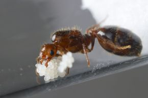 Make way for the queen of red imported fire ants. This queen was photographed with her eggs in a lab.