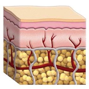 The hypodermis is composed of subcutaneous tissue, an all-important insulator that regulates your body's temperature.