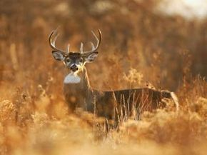 Most hunters would kill this whitetail buck for its antlers, but subsistence hunters would use it for food they need to survive.