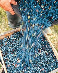 The blueberry harvest is good for your health. Those little berries are loaded with vitamin C, polyphenols and antioxidants.