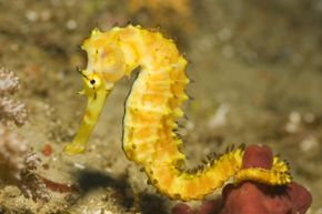 Seahorse dads take the business of fatherhood to a new level.