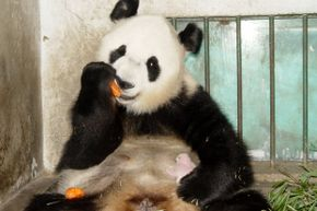Giant panda Ying Ying eats a carrot as one of her 10-day twin cubs naps on her stomach at the China Giant Panda Protection and Research Center on July 13, 2005. The center took the other cub away from her, recognizing that pandas typically nurture only one.