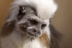 Are you my mother? It's kind of a moot point in cotton-top tamarin world.