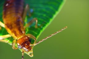 Earwig parents are all for favoritism.