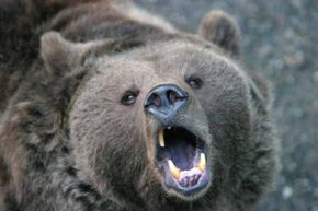 Here comes an angry bear -- time to run!  If your shoelace is broken, borrow some string from your bracelet and take off.
