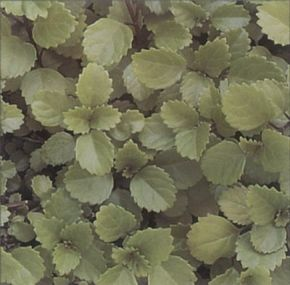 Swedish Ivy varieties can release scents when touched. See more pictures of house plants.
