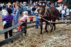 Visitors to this Tennessee fair watch as sorghum molasses is made the old-fashioned way using a mule to power a press which squeezes the juice from sorghum stalks. The juice is then heated and reduced down to syrup.