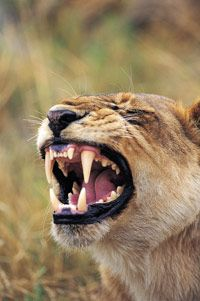 Today's big cats have long canines, too -- but they're tiny compared to the elongated teeth of a saber-tooth.