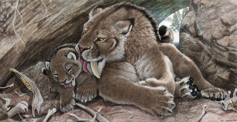 A saber-tooth mom grooms her cub