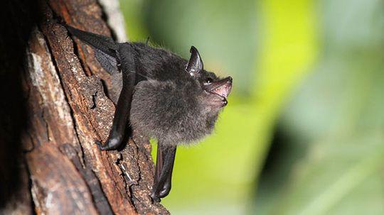 Baby Bats Babble With Moms, Hinting at Human Language Development