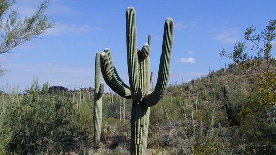 The Saguaro Cactus Is an Iconic Symbol of the American Southwest