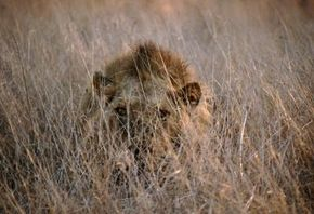 A well-camouflaged lion hides in the tall grasses of the African veldt. See more safari pictures.