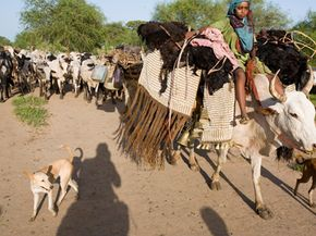Nomads in Chad migrate with the rains that grow grass for cattle.