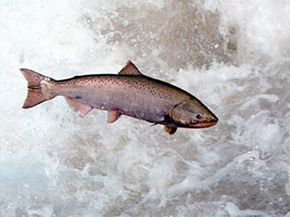 Sights like this one are becoming rare as fewer salmon make it back to their birthing grounds to spawn. See more pictures of responsible fishing.