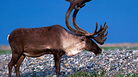 Everything I Need to Know I Learned ... Caribou Tracking