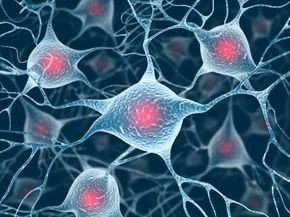 Motor neurons are connected to voluntary muscle fibers and transfer signals from the brain to muscle fiber, causing muscles to contract.