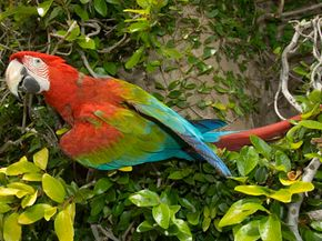 Detox dieter: The stunning scarlet macaw (South America) eats clay from riverside deposits, which may help it process toxic seeds it consumes.