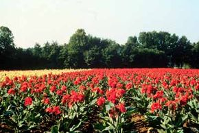 Although Crowley's Ridge Parkway is known for its Civil War sites, visitors also enjoy its beautiful topography and farmland scenes like this gladiolus field.