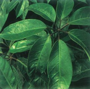 Prune the schefflera as it ages to stimulate branching. See more pictures of house plants.