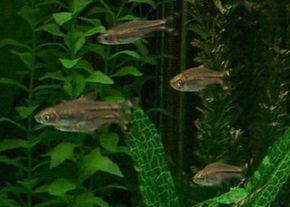 Scissortail Rasbora -- rasbora trilineata See more aquarium fish pictures.