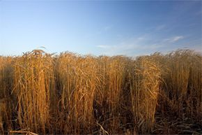 You're looking at a field of miscanthus, a key member of the second generation of biofuels that's helping to shift the biofuel focus away from corn. Want to learn more? Check out these alternative fuel vehicle pictures.