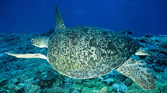 99 Percent of Great Barrier Reef Green Sea Turtles Are Hatching Female