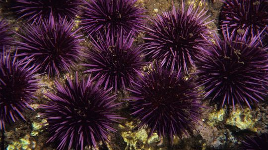Sea Urchins Are the Edible Pincushions of the Ocean