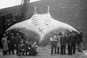 Is it any wonder that humans have developed so many stories about sea monsters when animals like this giant devil ray (or devil fish) have been found beneath the waves? This specimen caught in 1933 was more than 5,000 pounds (2,268 kilograms) and 20 feet (6 meters) wide.