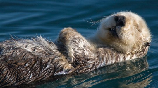 Sea Otters Are the Party Animals of the Sea
