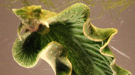 Sea Slugs Go Solar by Stealing From Algae