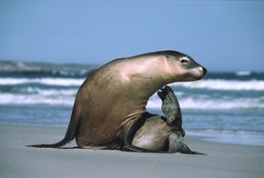 Marine Mammals Image Gallery An Australian sea lion scratches its chin while sitting on the beach on Kangaroo Island. See more pictures of marine mammals.