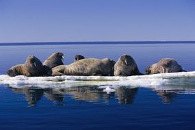These Atlantic walruses relax on ice.