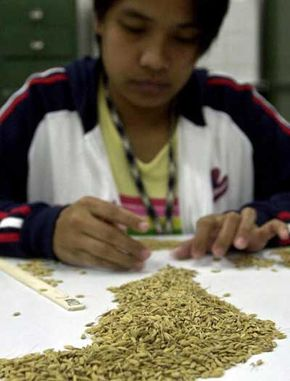 An employee at the International Rice Research Institute (IRRI) sorts out rice seeds prior to deep freeze storage at the IRRI rice germplasm bank in Laguna.