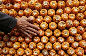 A farmer passes his hand over corn. Corn comes in many different varieties, depending on climate and region.