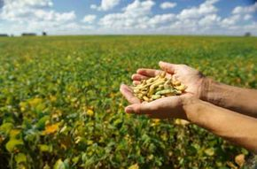 A person holds seeds in a soy bean field.