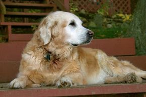 If you know of a particular health condition your senior dog has, that can guide you toward the right ingredients to include in his dog food -- for instance, glucosamine for dogs with arthritis. See more dog pictures.