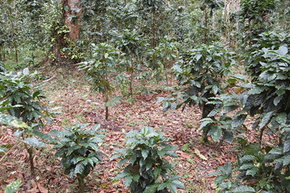 Leaves from shade trees provide thick, natural mulch for the coffee. They also help limit erosion, contain moisture and provide nutrients.