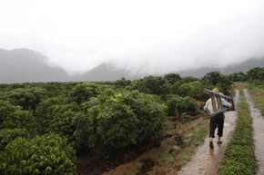 This Chinese farm might be a little overcast, but those vast expanses of coffee plants mean only one thing -- monoculture.