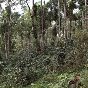 Coffee plants thrive under diverse native shade on the Finca Esperanza Verde coffee farm in Nicaragua.