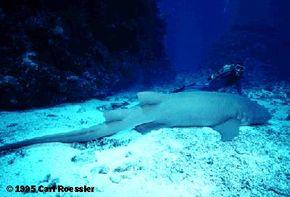 A nurse shark photographed off the coast of Australia