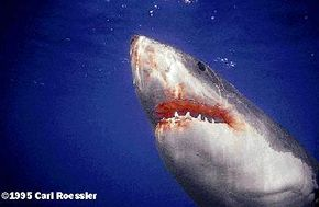 A great white shark tried to make a meal out of Kenny Doudt and his surfboard.