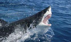 A great white shark breeches.