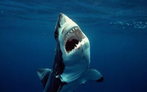 The great white shark can have up to 3,000 teeth.