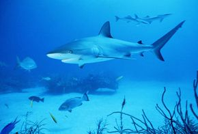 The blunt-nosed bull shark may be the most dangerous predator of all.