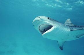 A shark seeking some dinner.