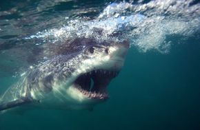 A great white collects food in South Africa.