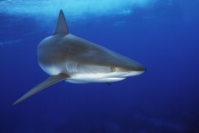 Is this reef shark swimming for its life?